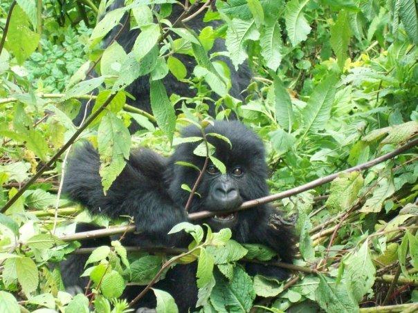Baby mountain gorilla in Rwanda